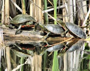 turtles 2927